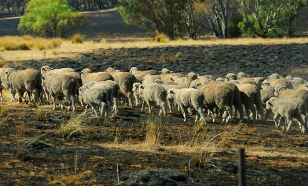 Собака собрала овец и вела их несколько часов. Люди удивились, а потом увидели лесной пожар