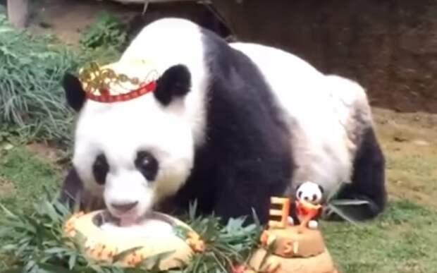 История жизни старейшей панды в мире… 37-летняя Баси попала в Книгу рекордов Гиннеса!