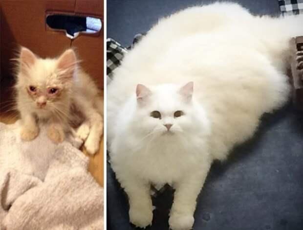Спасенный котенок превратился в огромный пушистый шар