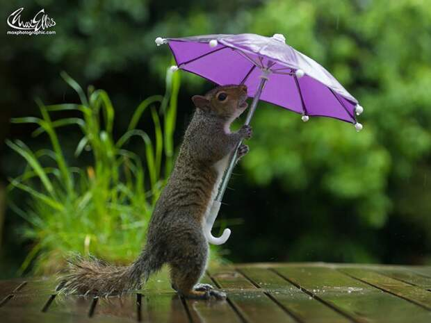 Фотограф дал белке крошечный зонтик, чтобы та укрылась от дождя белка, зонтик, фото