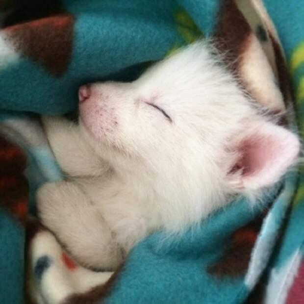 Маленькая домашняя лисичка — самая большая соня из всех, какие бывают.