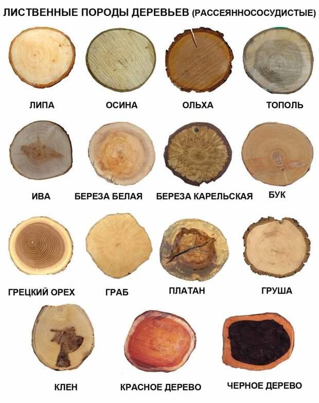 Рассеяннососудистые лиственные породы деревьев деревья, древесина, интересное, природа, факты