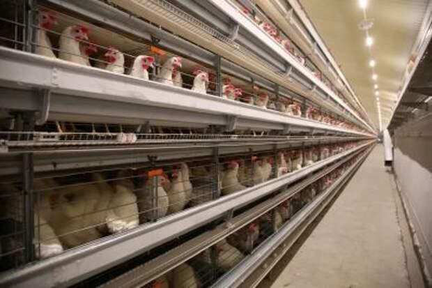 Кабмин РФ выделит допсредства на поддержку птицеводческих и рыбохозяйственных предприятий