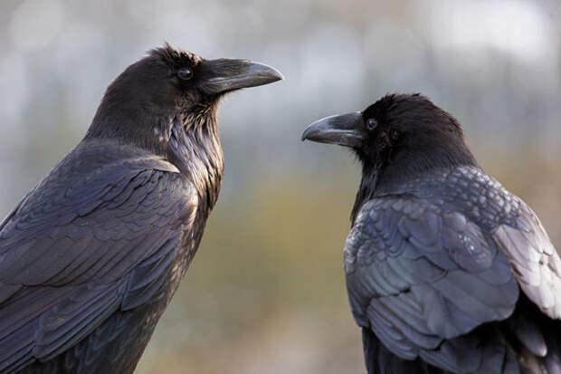 Вороны животные, факты