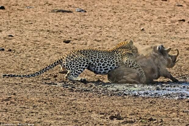 Финальная битва: Бородавочник делает отчаянную последнюю попытку бегства, но леопард уже нанес болезненные раны бородавочник, животные, леопард, охота, природа