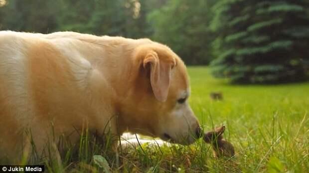 Трогательное видео, запечатлевшее дружбу лабрадора и крольчонка