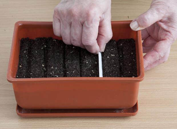бархатцы, выращивание рассады, подготовка почвы