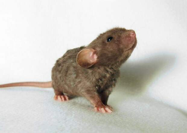 20. Крысёныш детеныш, животные