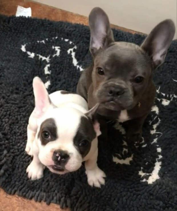 Щенок французский бульдог остался без собаки, но ему помогли добрые люди