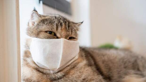 Кошки больше собак подвержены ковиду