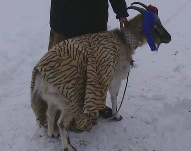 Козла Тимура женят на Меркель амур, животные, меркель, тимур