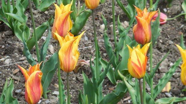 Тюльпан сорт Flaming Furore