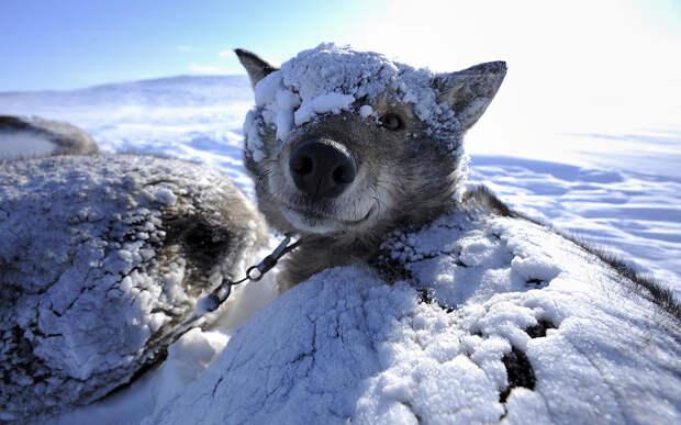 Снежные собаки