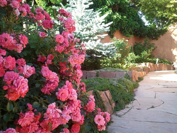 Фото плетистых роз в саду