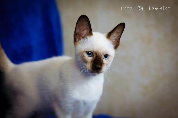 Сиамские кошки. Красивые фото. Котенок