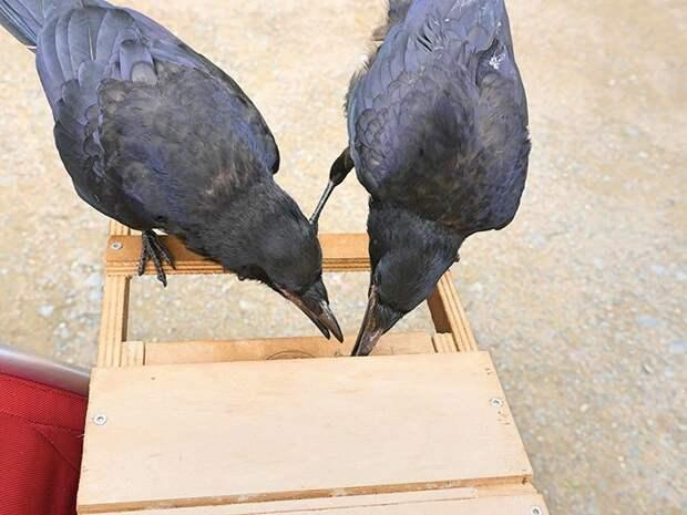 """Конечно, грачи не были бы грачами, если бы не придумали способ обмануть """"систему"""" ворон, животные, парк, помощь, птица, уборка, франция"""