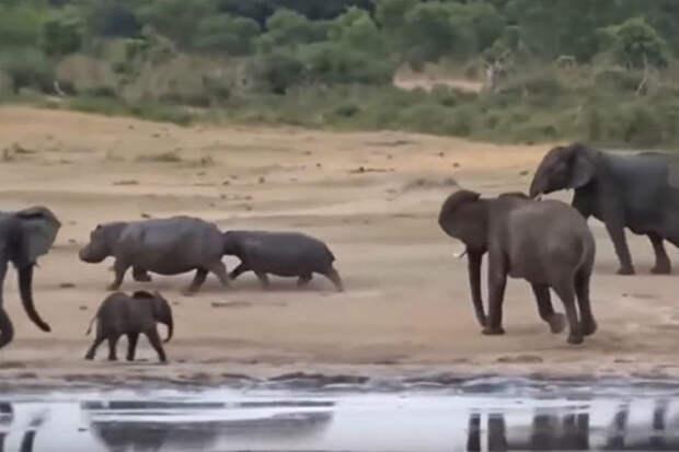 Разъяренная слониха вступила в схватку с целым стадом бегемотов