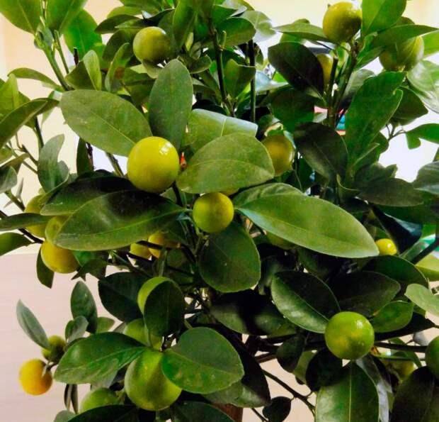 Как вырастить мандариновое дерево из косточки и ухаживать за ним