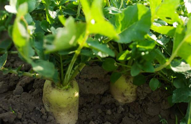 Какие овощи растут в тени?