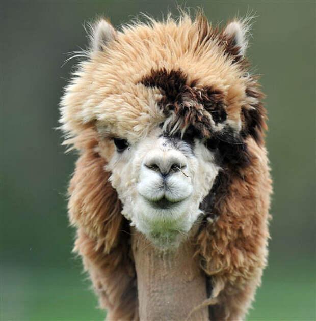альпака с забавной прической
