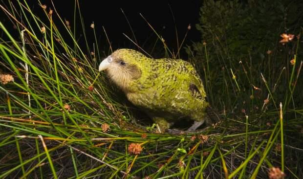 6 милых фото какапо — самых толстых в мире попугаев