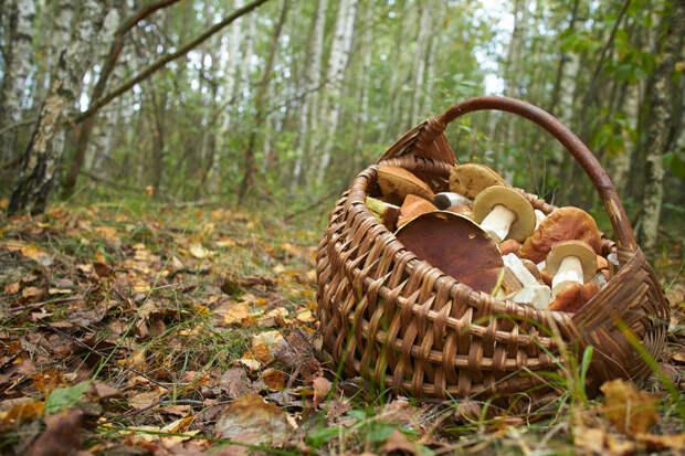 Определены самые грибные места под Москвой