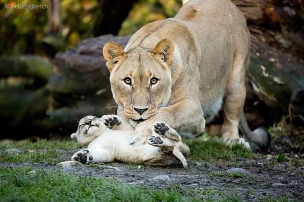 родители животные с их детенышами  львица