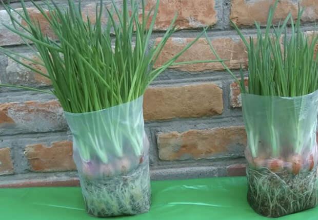 Лук на зелень: растет в пакете круглый год