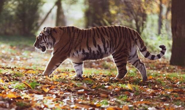В Амурской области браконьеры убили выпущенного на волю тигра Павлика