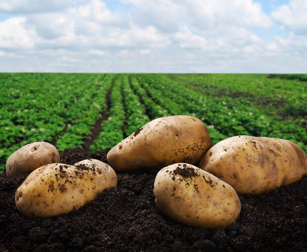 Влияние условий выращивания на лёжкость