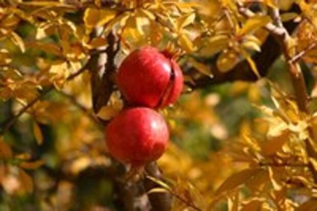 """Гранат - """"плоды счастья"""""""