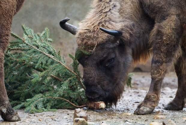 Во многих городах россияне могут сдать новогодние елки на корм для животных