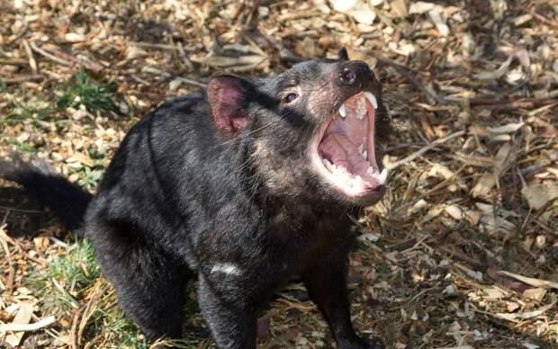 Иногда они возвращаются: тасманийские дьяволы вновь появились в материковой Австралии