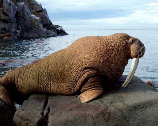 Морж атлантический. животные, красная книга, факты