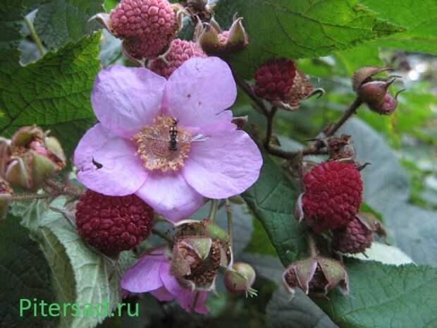 Малиноклен или малина душистая - ради плодов и красоты