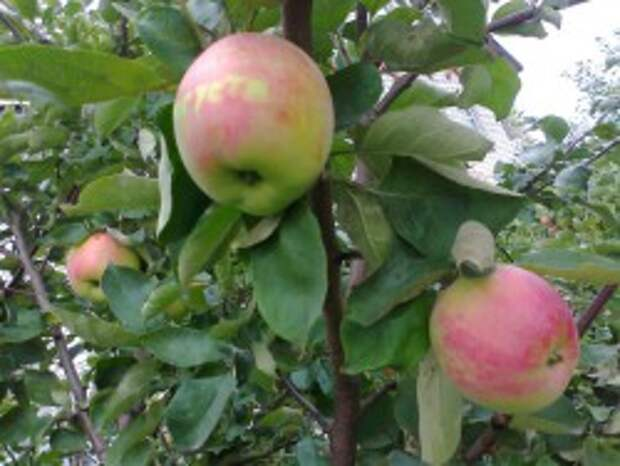 Яблоко сорт Августа
