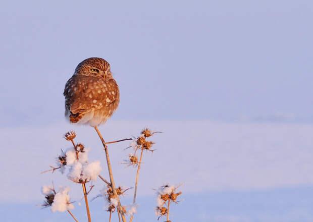 Совы в снегу - 25 величественных фотографий