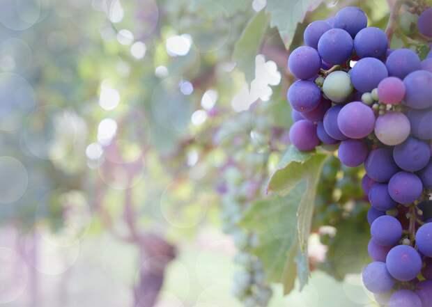 Затяжные дожди пошли на пользу крымскому винограду