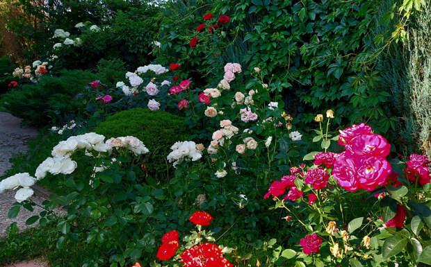 Так приветствовали меня розы после длительного моего отсутствия. Июль 2021.