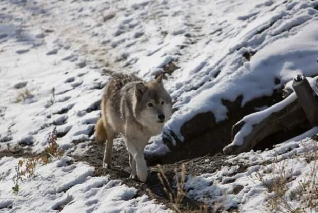 Волки в Йеллоустонском национальном парке