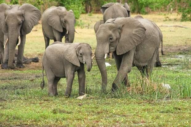 Трогательная история: 11 часов слониха безуспешно копала, пытаясь вытащить слонёнка из грязи