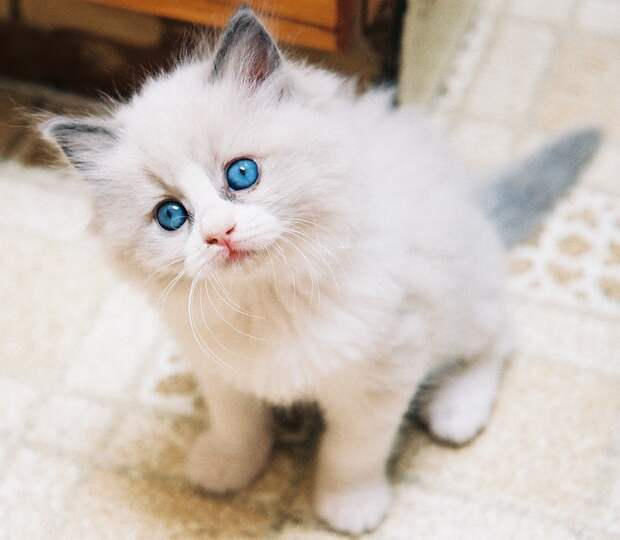 Голубоглазые кошки породы рэгдолл. Фото