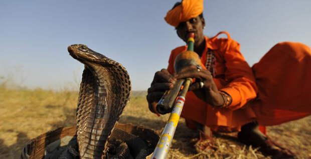 Как удается заставить змею танцевать? змея, как это делается, танец
