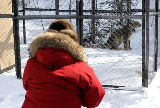 В 2011 году в урочище Калбак-Мэс Путину показали ирбиса по кличке Монгол