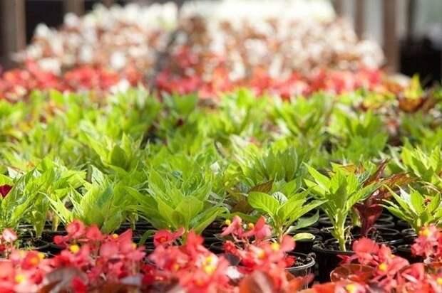Сроки посадки цветочной рассады