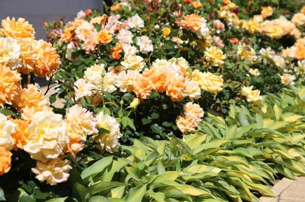Важность выбора. Как купить подходящий сорт садовой розы