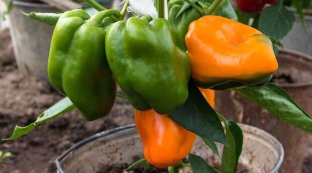 ТОП-5 вечных овощей: их можно пересаживать с грядки в дом и обратно
