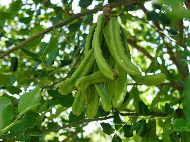 7)Рожковое дерево еда, здоровье, напитки, сделай сам