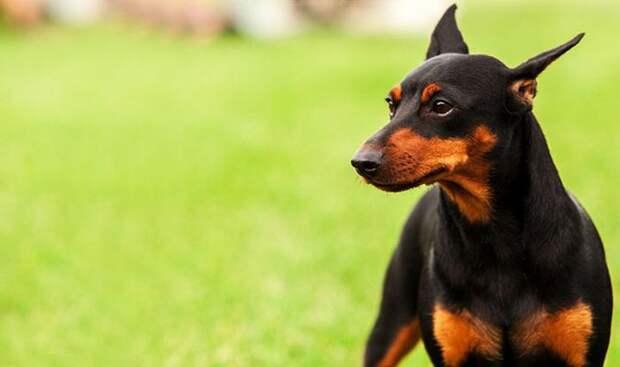 Доберман животные, собаки