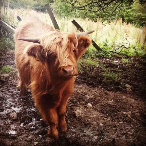 13. Они попросту лохматые! животные, корова, коровы, милота, позитив, собаки, факты